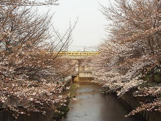桜_富士見台2007